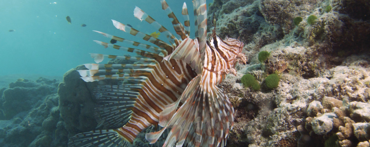 Lionfish, Heron Island, Great Barrier Reef