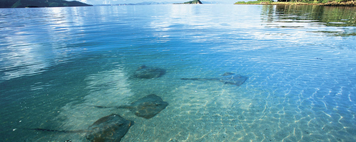 Stingrays in the shallows, Whitsundays