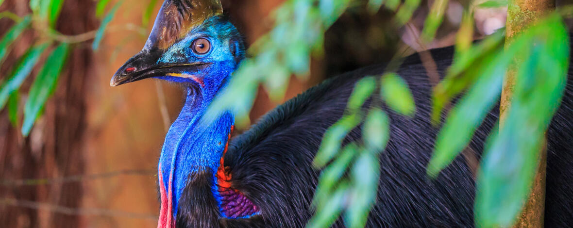 Cassowary in the rainforest, Tropical North Queensland