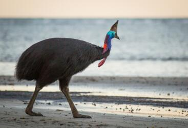 Daintree Rainforest - Cassowary looking for food on the beach