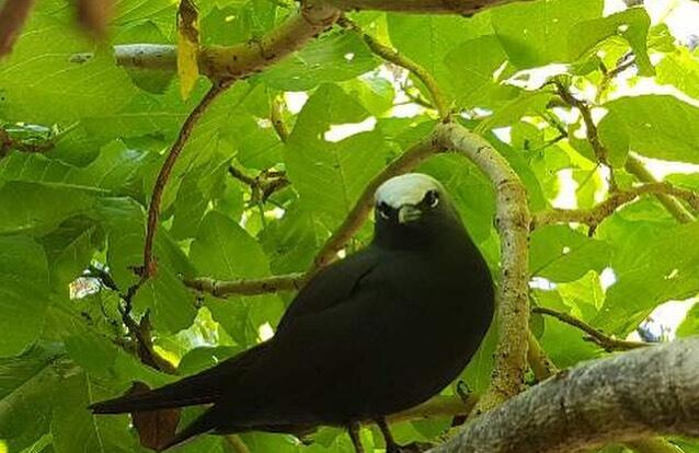 Lady Musgrave Island Tours - Nesting Sea Birds - Black Noddy Tern