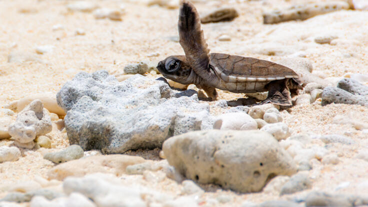 Pancake Creek Tours - Snorkel with Turtles - Hatchlings on the Beach