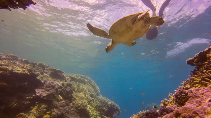 Snorkel with Sea Turtles off Lady Musgrave Island