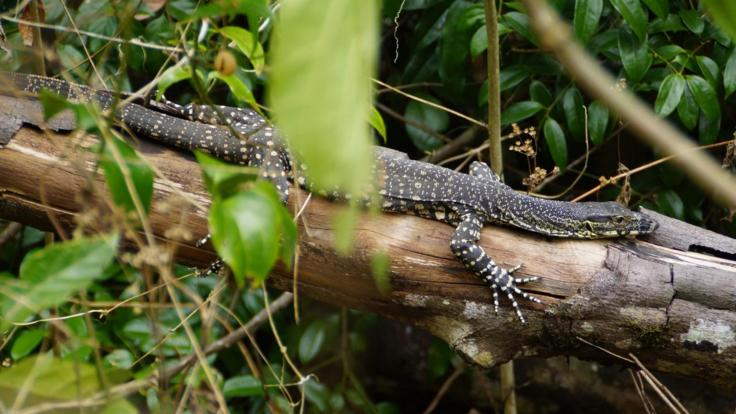 Spot local wildlife | Lace Monitor | Airlie Beach Hiking Tour