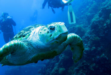 Charter Boats Townsville - Sea turtle at SS Yongala Wreck