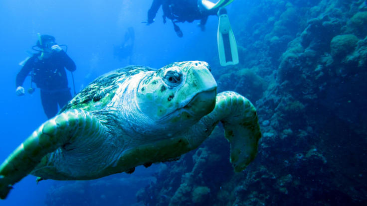 Sea turtle at SS Yongala Wreck