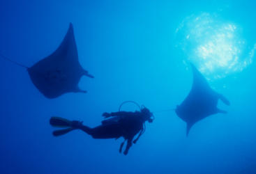 Manta Rays and Diver on Yongala Dive trip off Townsville