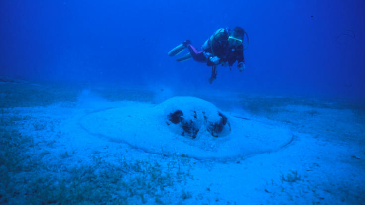 Large rays frequent the SS Yongala Wreck Townsville
