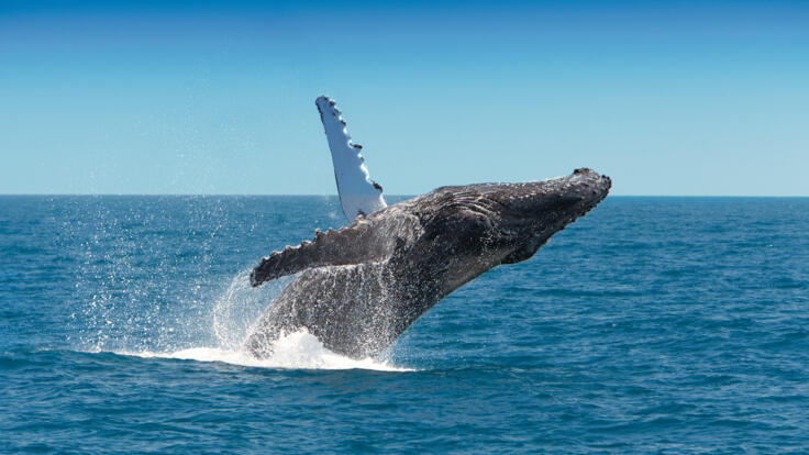 Whale Watching Tours Townsville - Whale Breaching