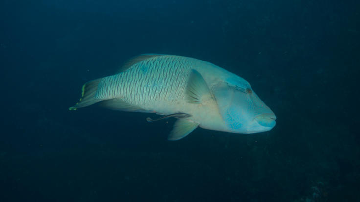 Moari Wrasse at SS Yongala Wreck Townsville