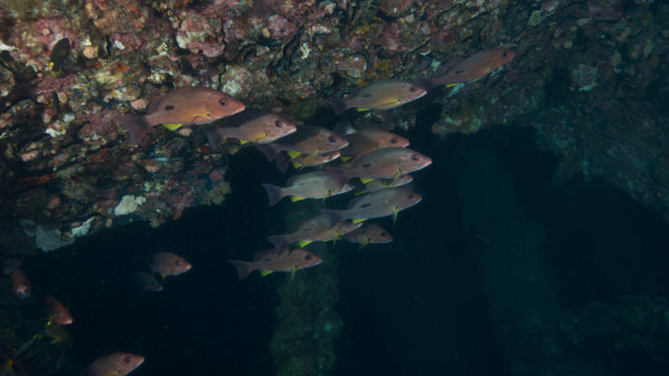 Fingermark Bream on the Yongala dive wreck