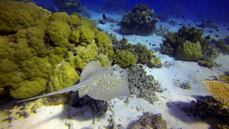 Scuba Dive Townsville - Stingray on the ocean floor - Townsville liveaboard dive tour