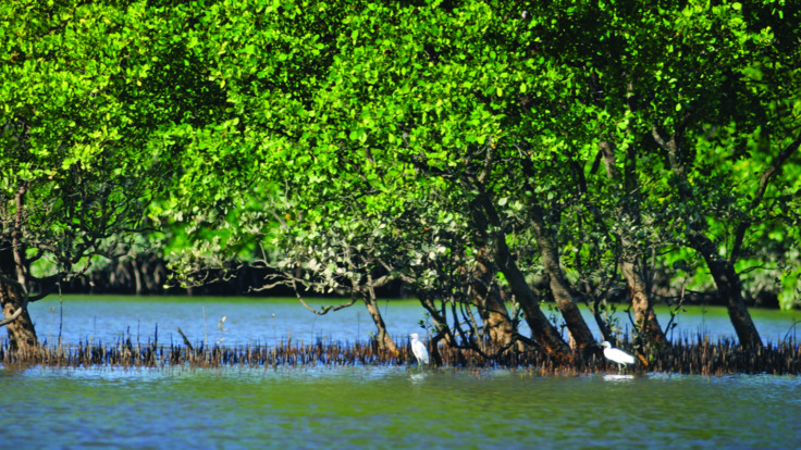 Mangroves in the Daintree river