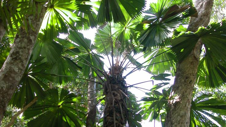 Rainforest Palms in the Daintree