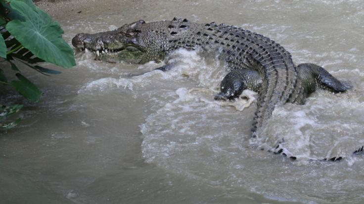 Crocodile in Cooktown