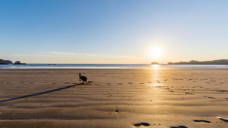 Visit the Agile Wallabies on the beach ar Sunrise | Cape Hillsborough Mackay