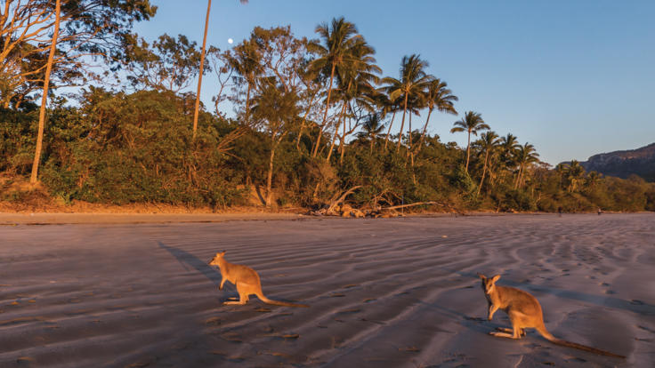 Watch the Agile Wallabies on the beach at Sunrise | Cape Hillsborough Mackay