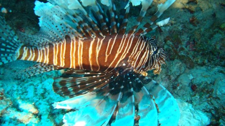 Lion Fish stay well away from these guys on the Great Barrier Reef
