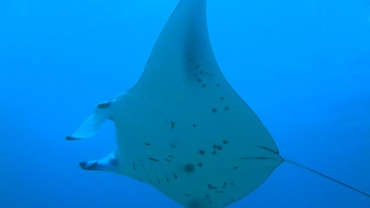 Mantaray on the Great Barrier Reef - Australia
