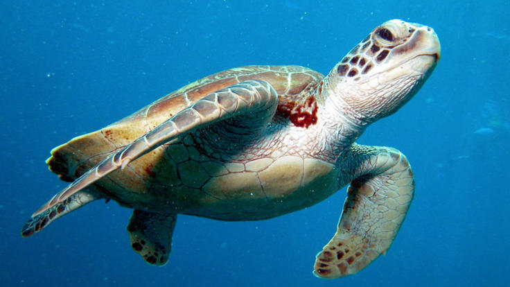 Sea turtle Great Barrier Reef Australia