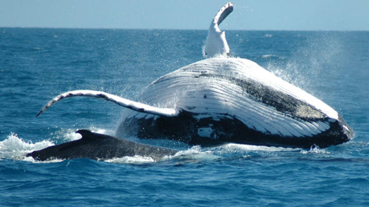 See giant Humpback Whales June - September Great Barrier Reef Australia