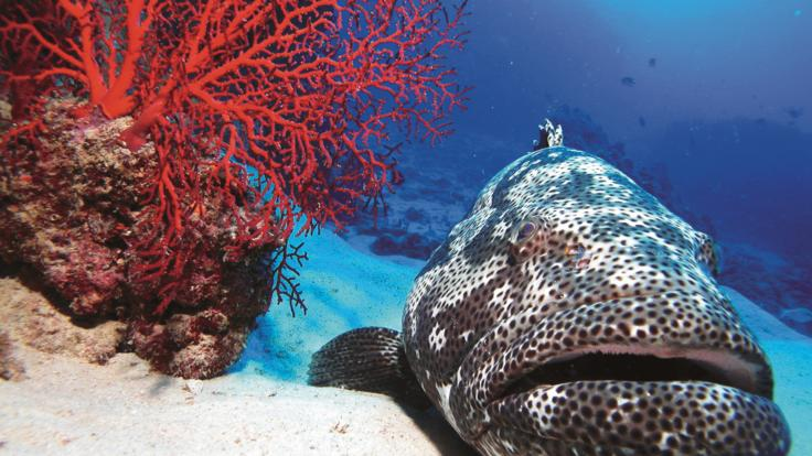 Swim with Giant Potato Cod on the Great Barrier Reef