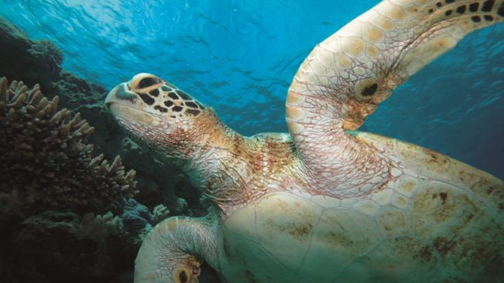Turtle action on the Great Barrier Reef