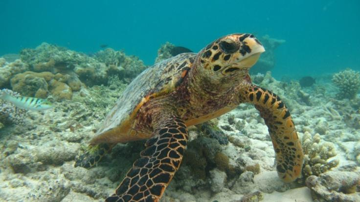 Turtles are well camouflaged on the Great Barrier Reef