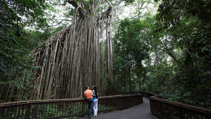 Barrier Reef Australia - 500 year old Curtain Fig Tree - Atherton Tablelands