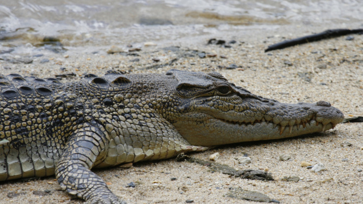 Spot a crocodile on your Daintree river cruise