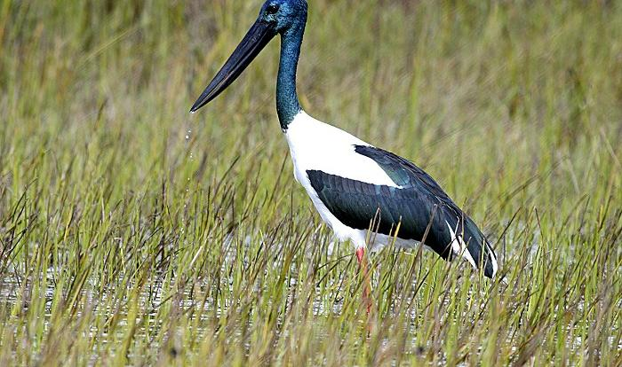 The incredible Jabiru bird at the Mareeba Wetlands