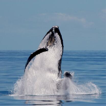 Whale Watching Hervey Bay - Humpback Whale Breaching