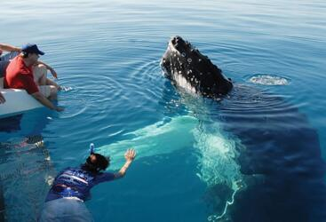 Whale Watching Hervey Bay - Swim with Whales Hervey Bay!