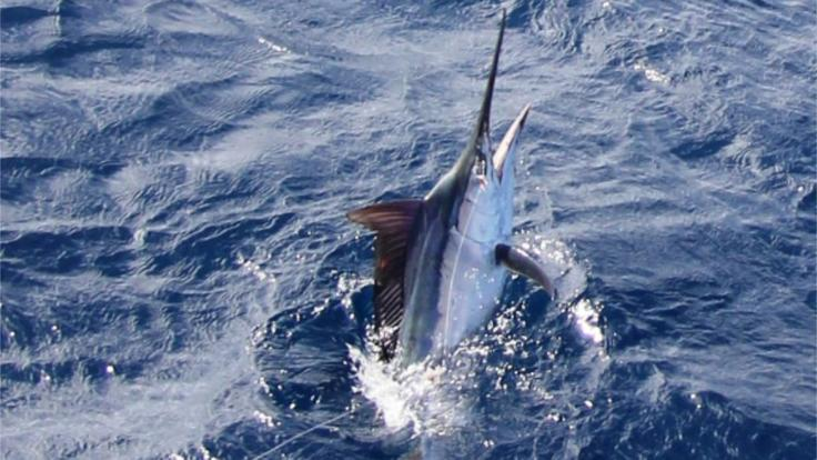 Fishing Charters Cairns | Marlin Fishing