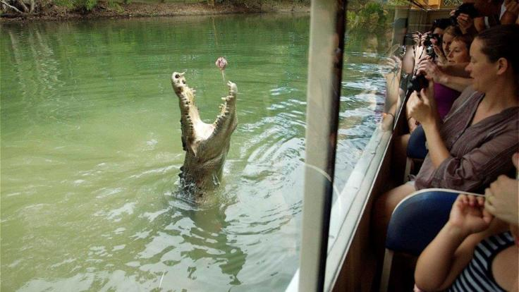 The jumping crocodiles on the Hartleys boat cruise