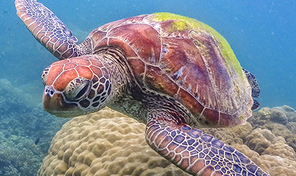 Sea Turtles that call the Great Barrier Reef their home