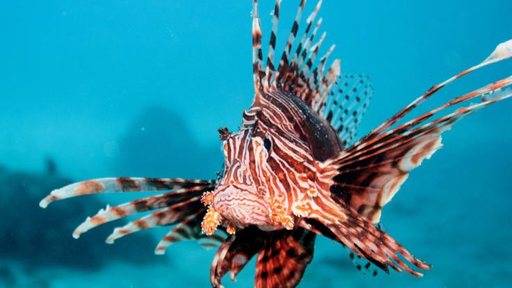 Lionfish - the king of the sea! Great Barrier Reef