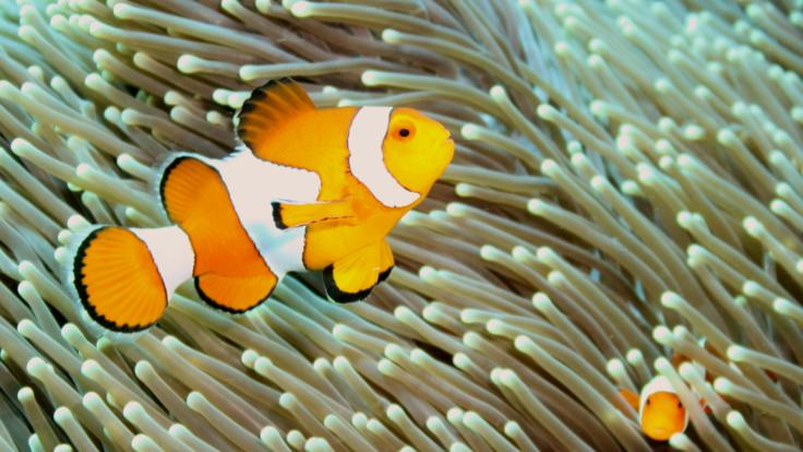 Nemo the clownfish! Great Barrier Reef