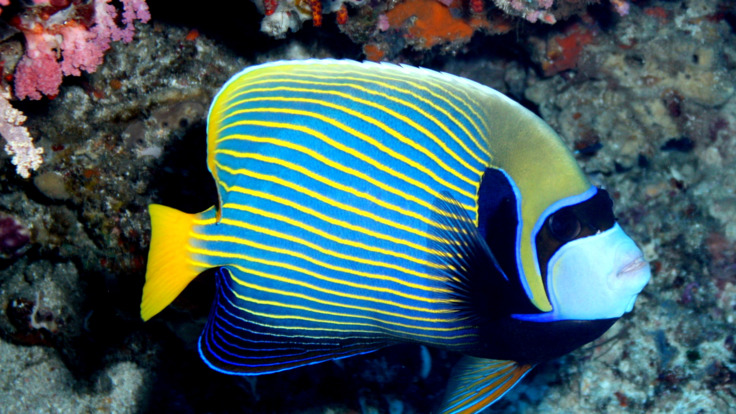 Blue butterfly fish on the Great Barrier Reef