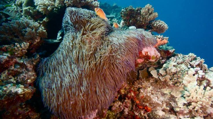 Shy fish hide amongst the coral bommies, Great Barrier Reef