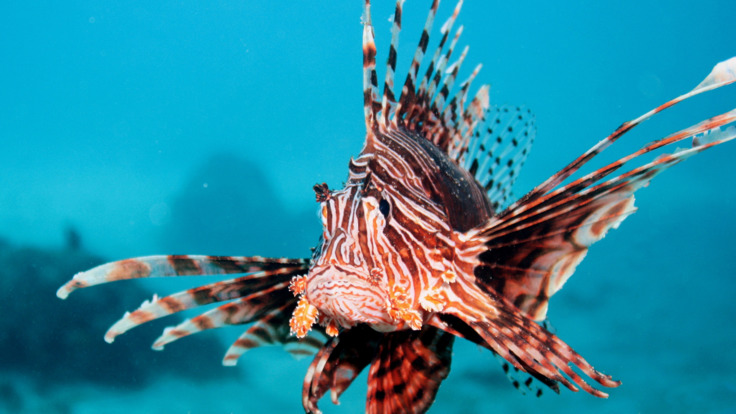 Marine life on the Great Barrier Reef - be careful not to touch Lion Fish