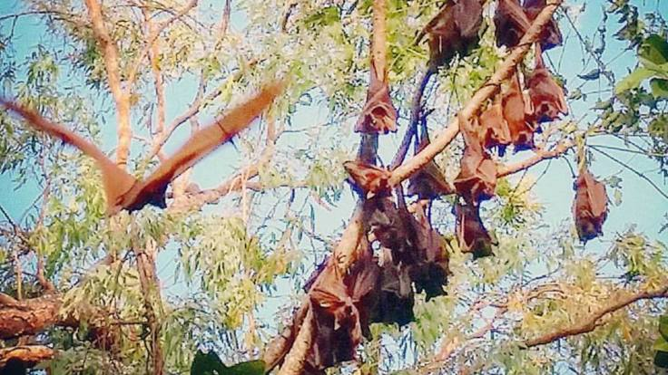 Fruit bats and native Australian wildlife on Cairns bike riding tour