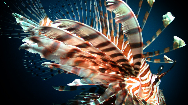 Deadly Lionfish-Night dives by torchlight on Great Barrier Reef