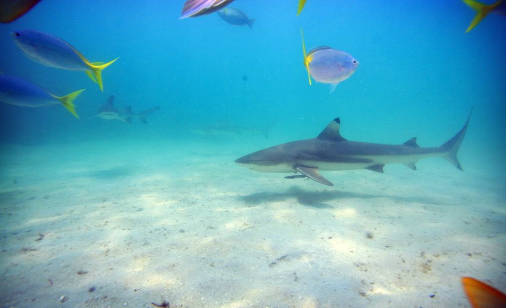 Scuba dive with sharks on the Great Barrier Reef in Australia