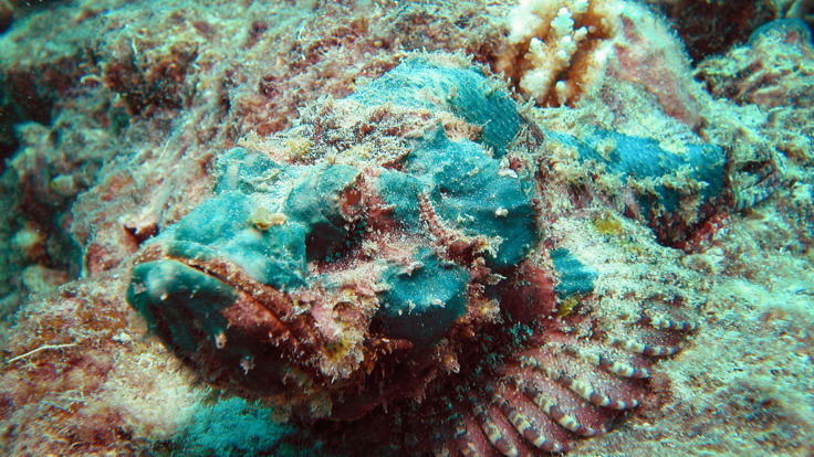 Deadly Stonefish on the Great Barrier Reef in Australia
