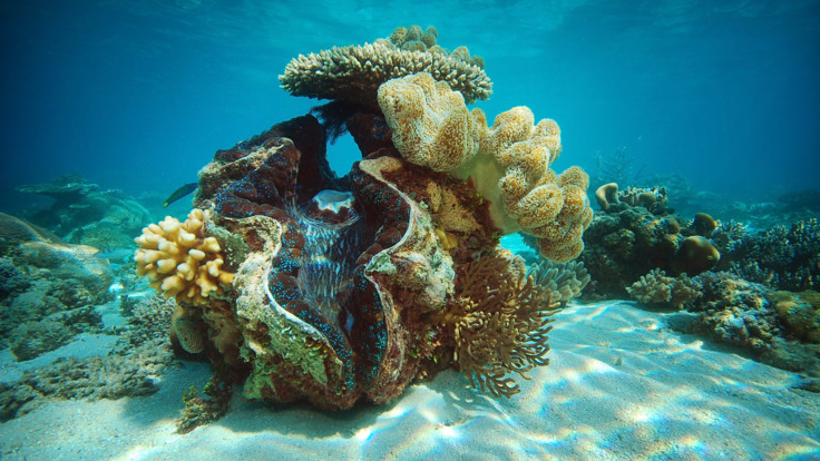 One of The Great 8, a giant clam on the Outer Reef