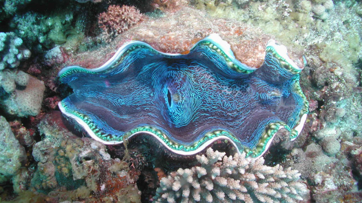 Giant clams on the Great Barrier Reef