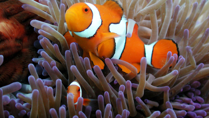 See Nemo the Clown Fish on the Outer Reef