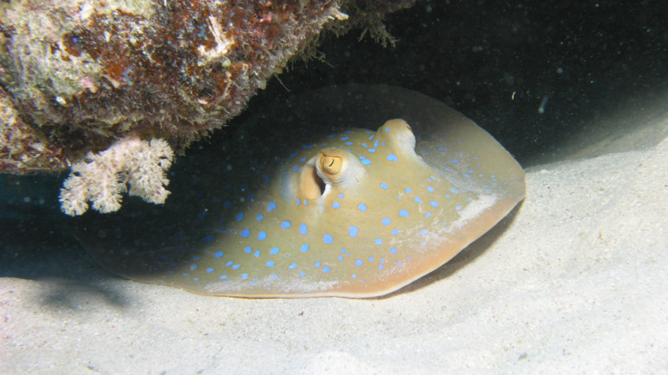 Spotted ray hiding on the Reef