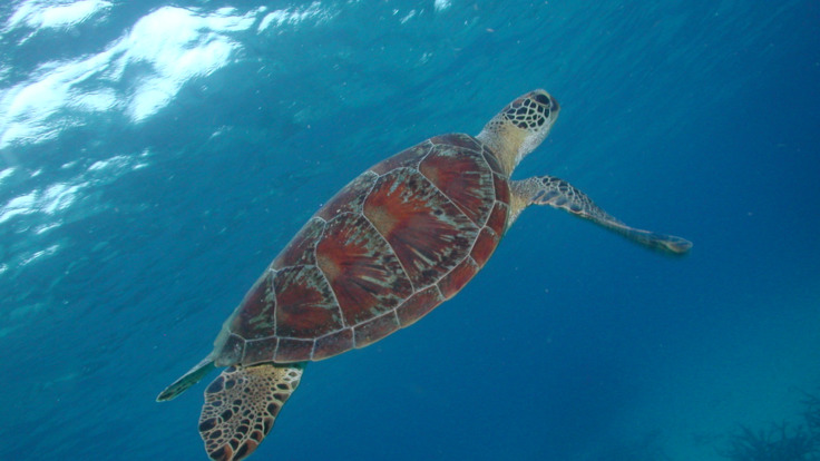 Dive with turtles on the Great Barrier Reef